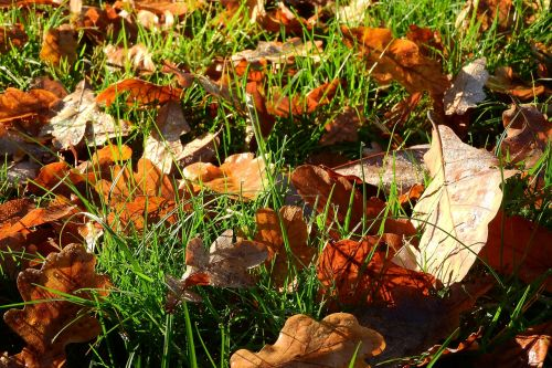 nukritę lapai,ruduo,rudens spalvos,aukso ruduo,rudens lapai,spalvos,sausas lapai,ąžuolo lapai