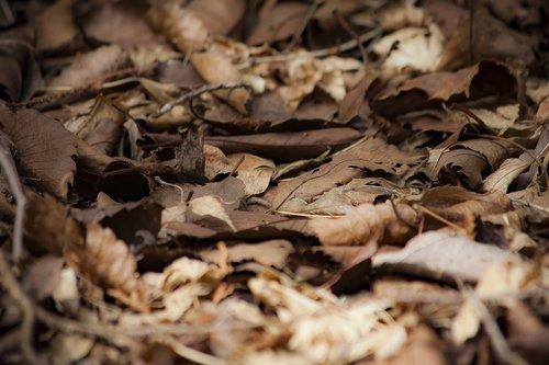 fallen leaves  dead leaves  autumn