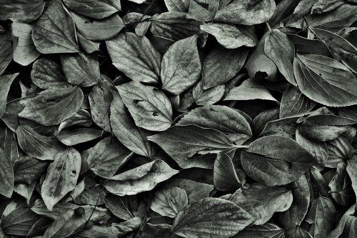 Fallen Leaves B&w