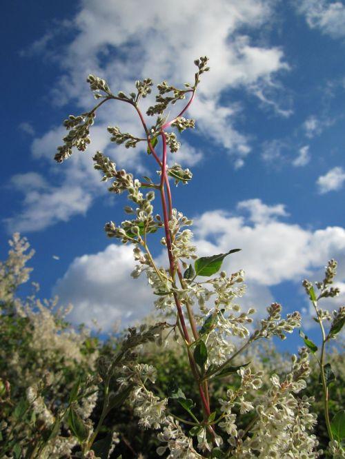 fallopia baldschuanica russian vine bukhara fleeceflower
