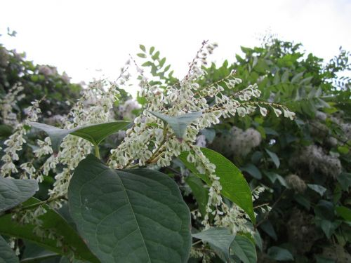 fallopia japonica japanese knotweed wildflower