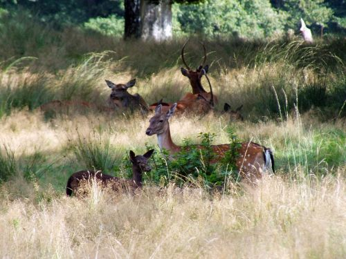 fallow,late summer,forest,veluwe,hiking,tree,dutch landscape,deer