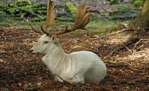 fallow deer white fallow deer antler