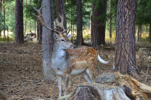 fallow deer fallow deer spotted animal