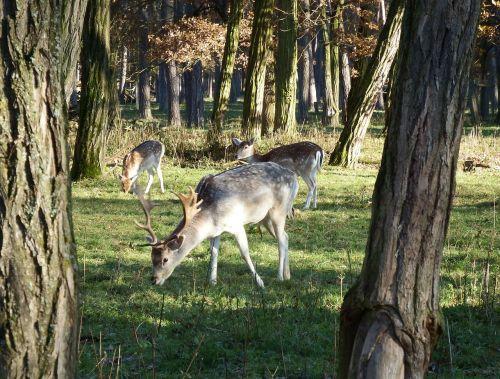 fallow deer november rut