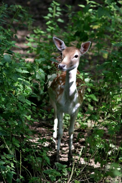 fallow deer deer fallow