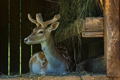 fallow deer  damm wild  forest animal