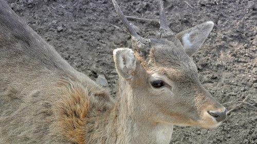 fallow deer  young male fallow deer  young danek
