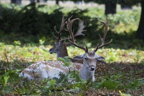 fallow deer  deers  richmond park