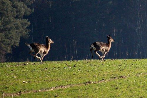 fallow deer  jump  arable