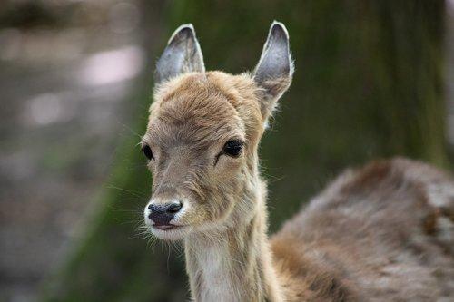 fallow deer  mammal  animal