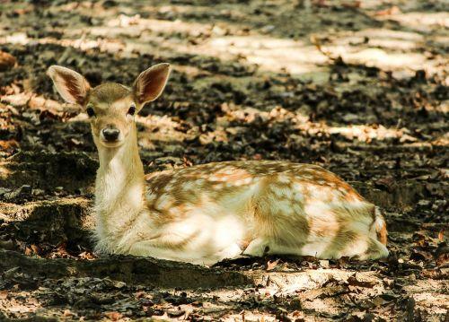 fallow deer fawn ruminant