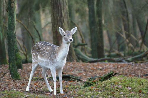 fallow deer roe deer kitz