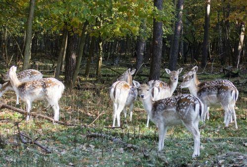 fallow deer group fallow deer fur