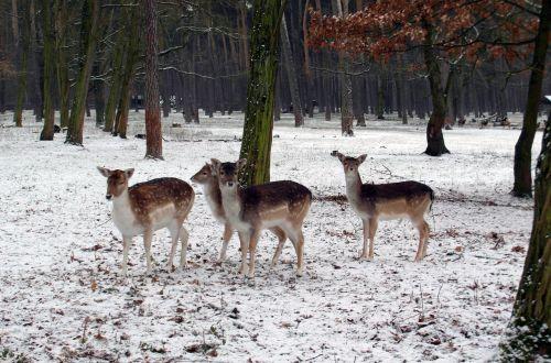 fallow deer group winter fallow deer