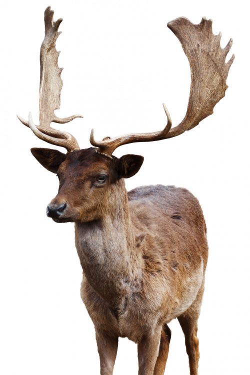 Fallow Deer Isolated