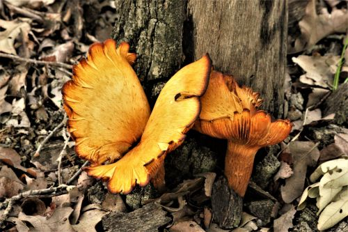 False Chanterelle Mushrooms