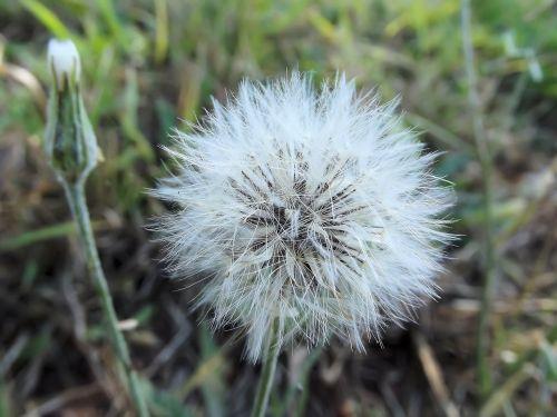 false dandelion hawkweeds hawkbeards