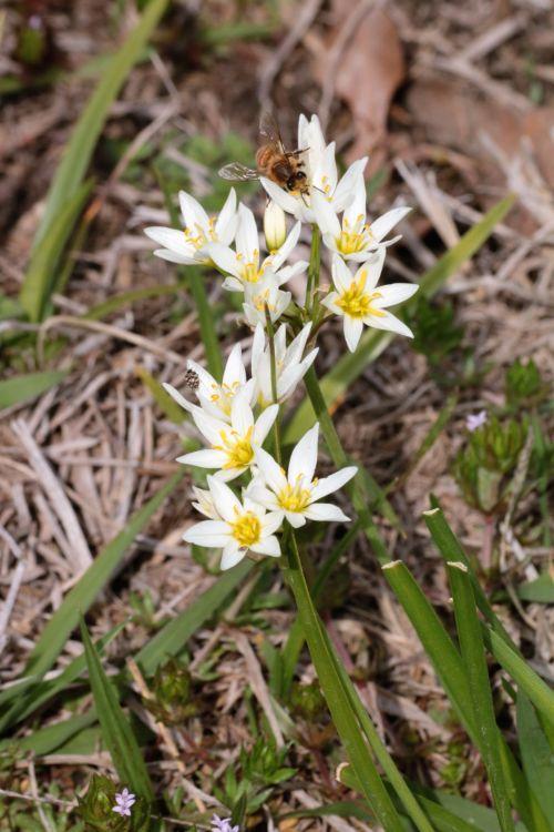 False Garlic Wildflowers And Bee 2
