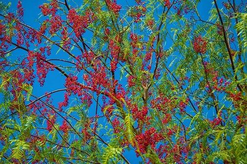 false pepper  tree  fruits