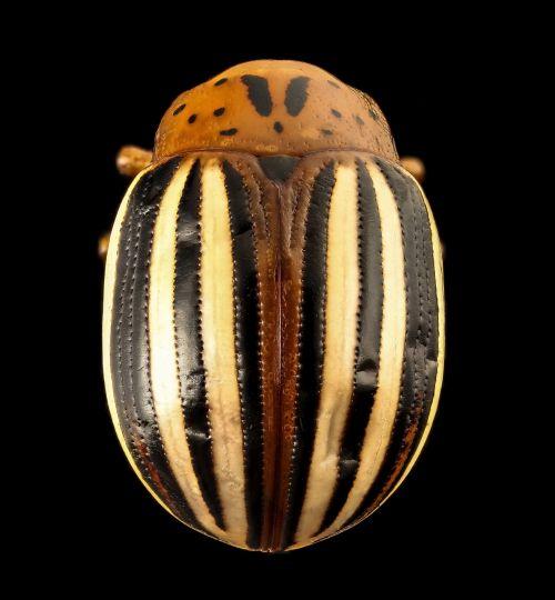 False Potato Beetle Close Up