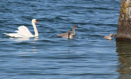 family swans mother