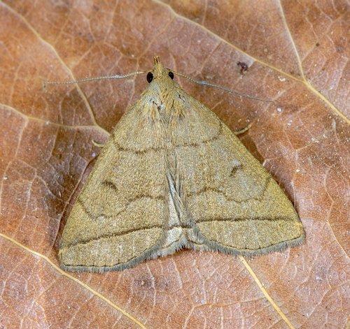 fan-foot  moth  pattern