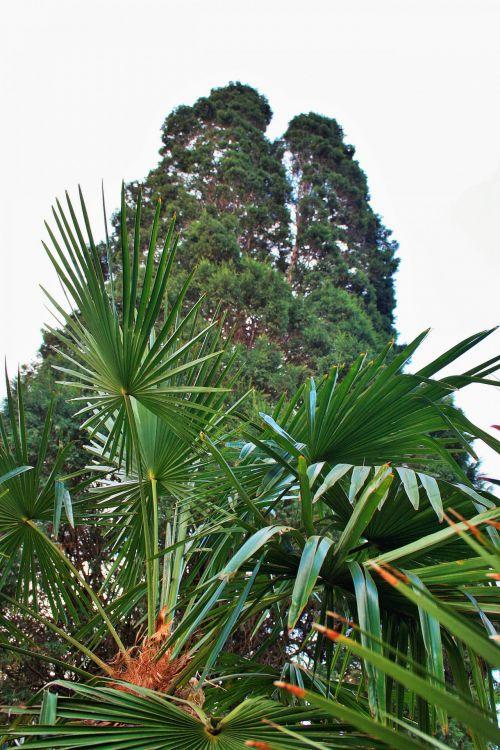 Fan Leaves Of A Palm
