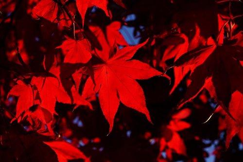 fan maple  leaves  fall leaves