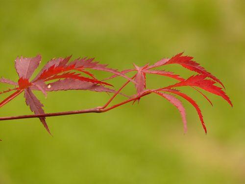 fan maple maple red