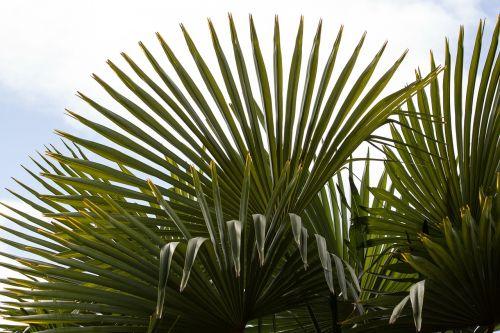 fan palm palm hand shaped