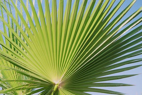 fan palm palm palmately divided