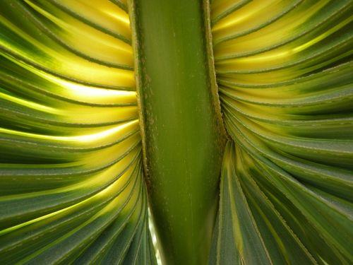 fan palm palm fronds james