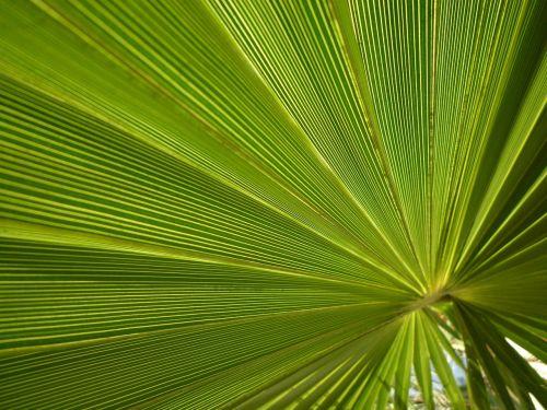 fan palm palm james
