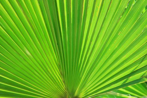 fan palm palm fan