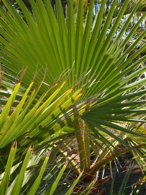 fan palm palm palm leaf