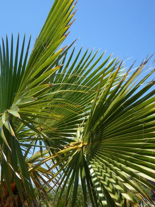 fan palm palm leaf green