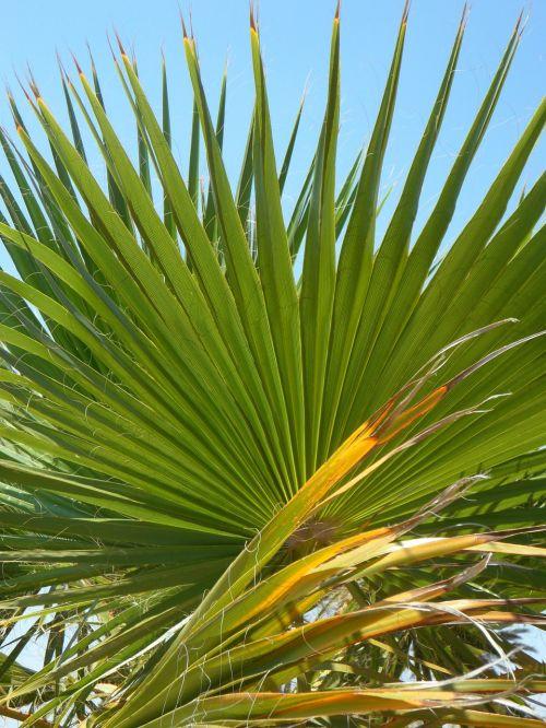 fan palm palm leaf green