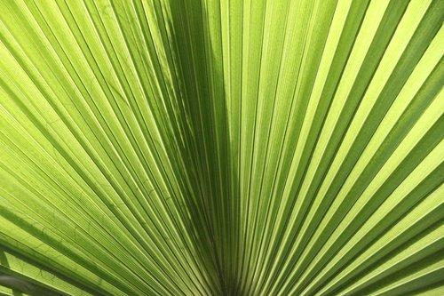 fan palm  james  palm fronds