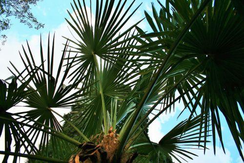 Fan Palm Against Sky