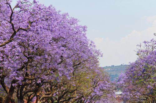 fantastic purple trees