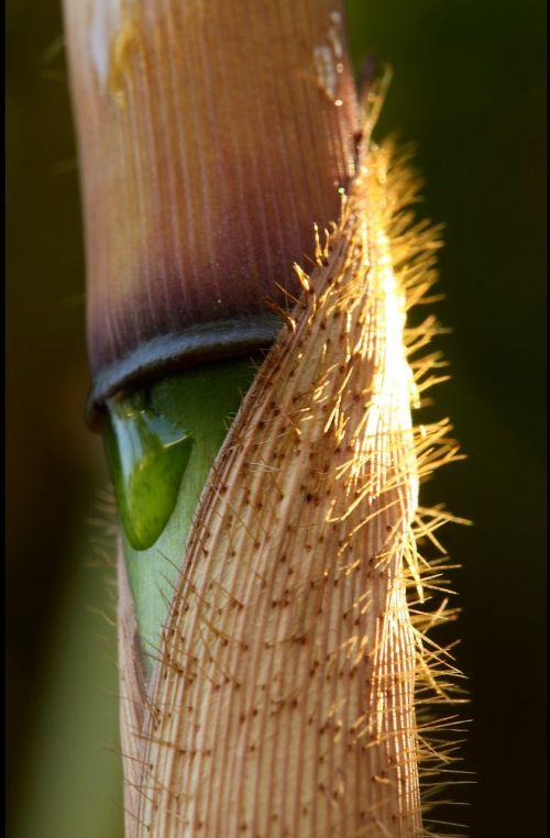 fargesia robusta bamboo