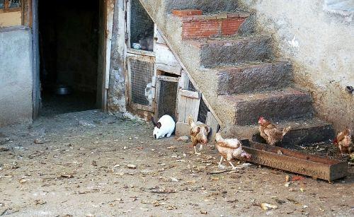 farm hen chickens