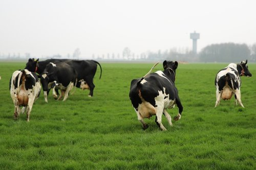 farm  cattle  cows