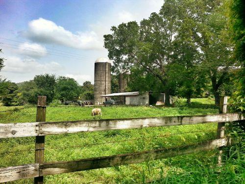 farm cow puerto rico