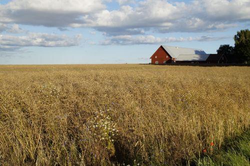 farm cornfield field