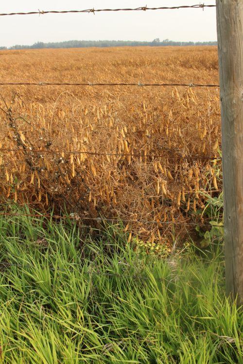 Farm Golden Peas Crop