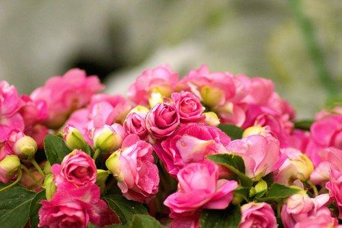 farm market peonies  flower  peony