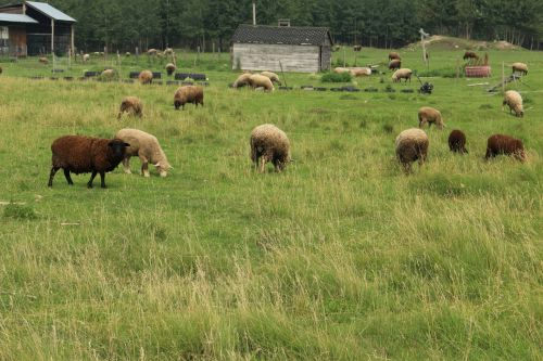 Farm Sheep Livestock