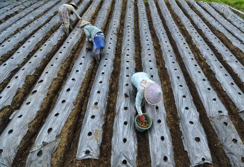 farmer plant potato fruit